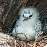 White-tailed Tropicbird (2)