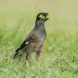 Indian Mynah (1)