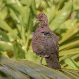 Malagasy Turtle-Dove (1)