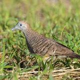Barred Ground-Dove
