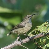 Seychelles Sunbird (1)