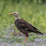 Indian Mynah (3)