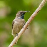 Seychelles Sunbird (3)