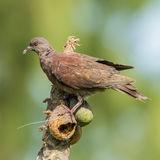 Malagasy Turtle-Dove (2)