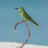 Blue-cheeked Bee-eater (1)