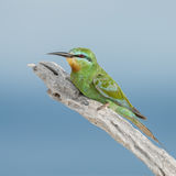 Blue-cheeked Bee-eater (2)