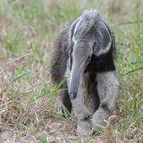 Giant Anteater (4)