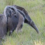 Giant Anteater (5)