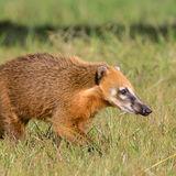 South American Coati (1)