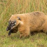 South American Coati (2)