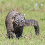 South American Coati (5)