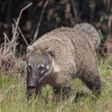 South American Coati (6)