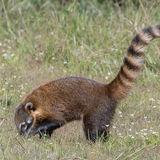 South American Coati (7)