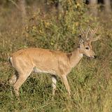 Pampas Deer (1)