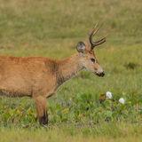 Marsh Deer (1)