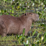 Capybara (3)