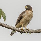 Roadside Hawk (1)