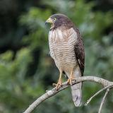 Roadside Hawk (2)