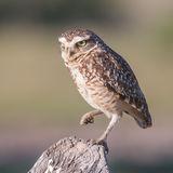 Burrowing Owl (1)