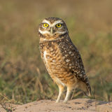Burrowing Owl (2)