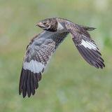 Nacunda Nighthawk (1)