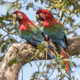 Red-and-Green Macaw (1)