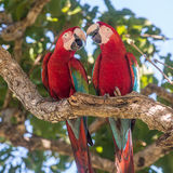 Red-and-Green Macaw (2)