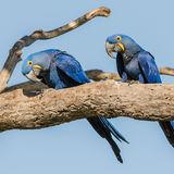 Hyacinth Macaw (1)