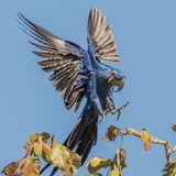 Hyacinth Macaw (2)