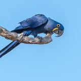 Hyacinth Macaw (4)