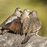 Scaled Doves