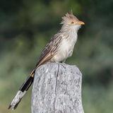 Guira Cuckoo (2)