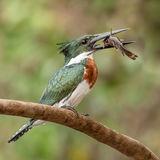Amazon Kingfisher (1)