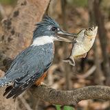 Ringed Kingfisher (1)