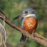Ringed Kingfisher (2)