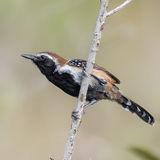 Rusty-backed Antwren (1)