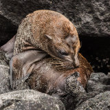 Galapagos Sea Lion (3)