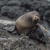 Galapagos Fur Seal (2)