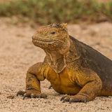 Land Iguana (1)