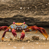 Sally Lightfoot Crab (2)
