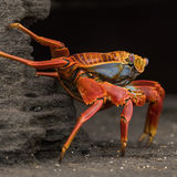 Sally Lightfoot Crab (3)