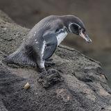 Galapagos Penguin (1)