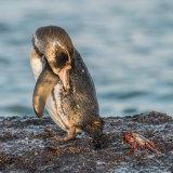 Galapagos Penguin (2)