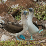 Blue-footed Booby (1)