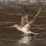 Blue-footed Booby (3)