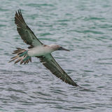 Blue-footed Booby (6)