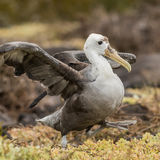 Waved Albatross (1)