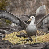 Waved Albatross (2)