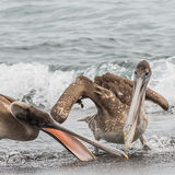 Brown Pelican (2)