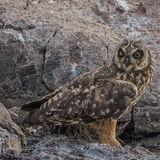 Short-eared Owl (1)